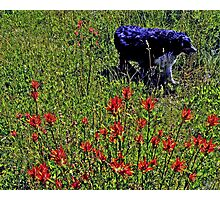 Buddy found some wonderful Indian Paint Brush Wild Flowers Photographic Print