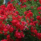 """""""RED"""" CREPE MYRTLE BUSHES by Ruth Lambert"""