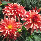 Dahlias by Marta Boulden