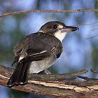 Grey Butcherbird ~ Immature by Robert Elliott