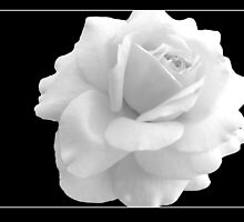 Rose in Black and White by Jan  Tribe
