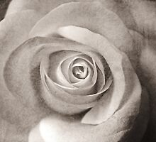 Antique Rose by Astrid Ewing Photography