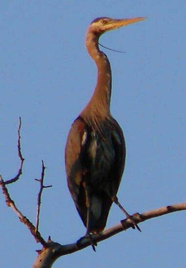 Blue Heron by tkrosevear