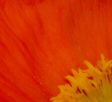Flaming Poppy by Naomi Clarke