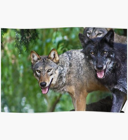 Pack of Timber Wolves ........ Poster