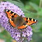 Red Admiral Butterfly by gillyenigmatic