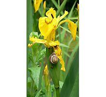 Snail On A Yellow Iris Photographic Print