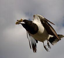 Butcherbird in flight by Newsworthy