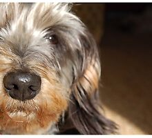 Miniature Wire Haired Dachshund by PeachesBooth