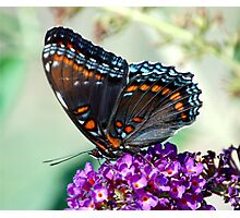 red spotted butterfly Photographic Print