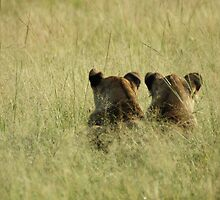 Uganda - lions peering at the grass by Marieseyes