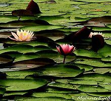 #425   Lotus Flowers & Pads by MyInnereyeMike