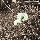 Dandelion in sepia by Tony Blakie