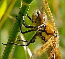 Four-spot Chaser by Nigel Kendall