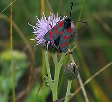 6 spot burnet moth by Sharon Perrett