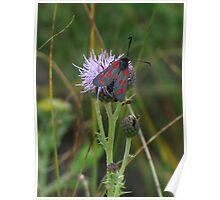 6 spot burnet moth Poster