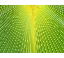Molokai Palm Fan Photographic Print