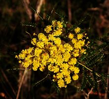 Golden Wattle by Evita