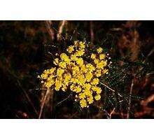 Golden Wattle Photographic Print