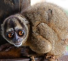 Tarsier Relative? by tomcelroy