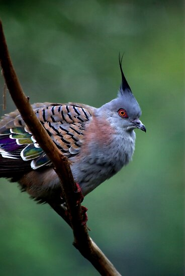 Crested Pigeon by Tamara  Kenneally