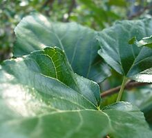 Green leaves by staphylococcus