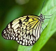 Paper Kite (Idea leuconoe)  by Steve  Liptrot