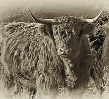 Highland Coo #2 by Trevor Kersley