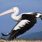 Pelican taking off by Graham Mewburn