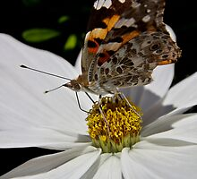 Red Admiral by Colin Shanley