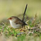 Superb Fairy -wren  IIII Marlo Australia  by helmutk