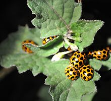 ladybugs at night by Amanda Hinton