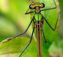 Beautiful Demoiselle female by Nigel Kendall