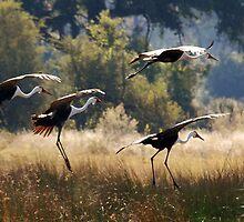 Wattled Cranes - Okavango Delta, Botswana. by Sharon Bishop