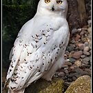 Snowy Owl  by Shaun Whiteman