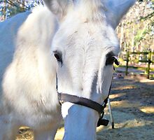 Elvira The White Mule by ©Dawne M. Dunton