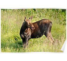 Moose Alert Poster