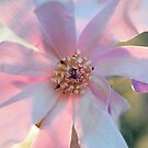 Saucer Magnolia by ©Dawne M. Dunton