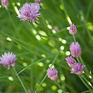 Chives in Bloom by Marlene Hielema