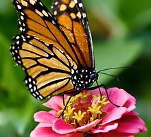Monarch Butterfly  by Jose O. Mediavilla