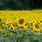 The Painted Sunflowers by RebeccaWeston