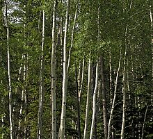 Birch Grove by Bryan D. Spellman