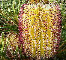 Banksia Birthday Candles by Maureen Clark