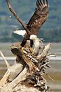 Bald Eagle - The Launch by Barbara Burkhardt