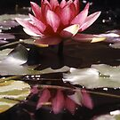 Waterlily Reflection by John  Cameron