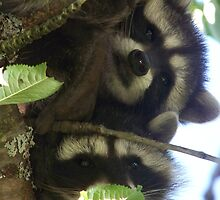 Pine - Coons hanging in the tree by Tracey Ross