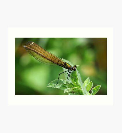 Banded Demoiselle / Calopteryx Splendens Art Print