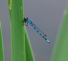 Common Blue Damselfly by dougie1page2