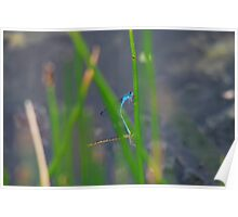 A Pair of Damselflies, Getting  Together. Poster
