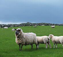 Inishowen Fauna - Sheep by jecate